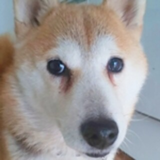 保護犬ナンバーD1485 柴犬