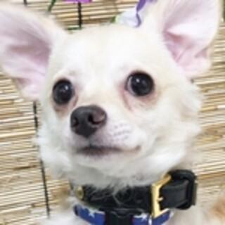 保護犬ナンバーD1457 チワワ