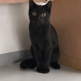 やんちゃで少しシャイ美しい黒猫男子♂6ヶ月ぐらい