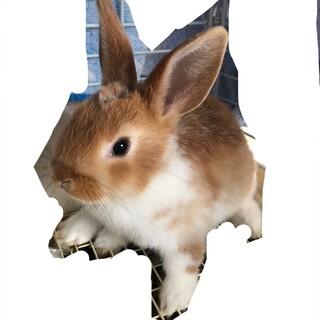 2ヶ月のかわいいミニウサギ