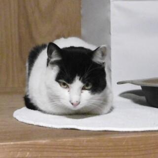 天性の癒し猫の里親になってくださいm(_ _)m