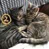 飼い主が亡くなってしまった3歳のオス猫 サムネイル2