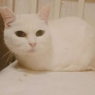 小柄な白猫「もんぺちゃん」