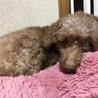 【再募集】繁殖犬母さんだったトイプードル(全盲犬) サムネイル3