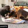 一般飼育放棄保護 シニア犬のスムースチワワ サムネイル2