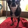 一般飼育放棄保護 シニア犬のスムースチワワ サムネイル3