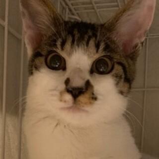 サバ白子猫サバシロー!