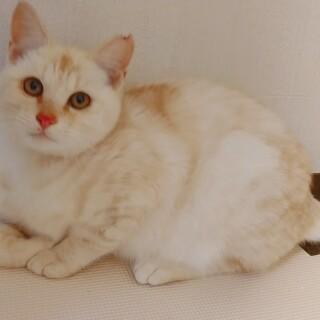 かわいいクリーム色の子猫!チャイくん。