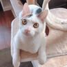 美猫キジ白三毛♂【1/24譲渡会】