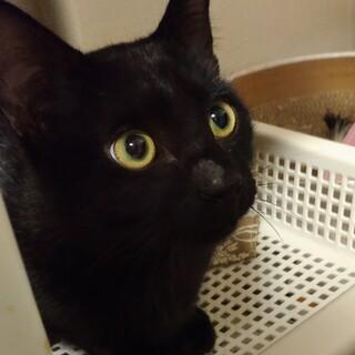 子猫5ヶ月ジジみたいな黒猫坊や