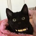 元気で愛らしい黒猫★2ヶ月半