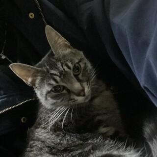 2歳の大人しめメス猫ちゃん