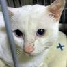 【おもち】綺麗なブルーの瞳をもつ真っ白なオス猫