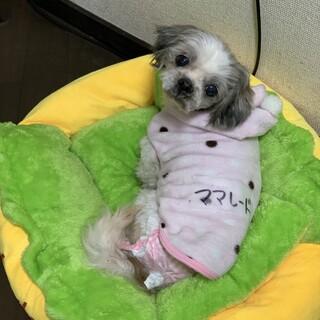 ママレード☆ベット大好き控えめ甘えん坊シーズー♀