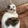 モフモフの白キジちゃん♡ホイップちゃん