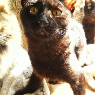 子猫(黒猫)