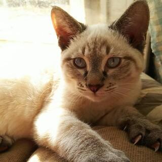 【交渉中】シャム風子猫