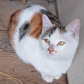 富良野の縞三毛子ネコ♀です
