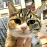 【アイナ】人慣れした三毛トラ少女猫