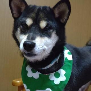 柴犬の美智子