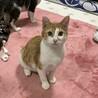 短足子猫兄妹 茶白のスコッティ