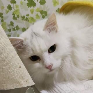 年配猫ですが 元気で美人です。
