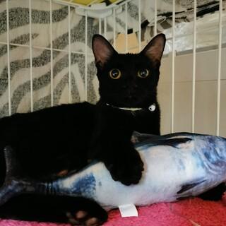 2/21お見合い会参加猫。シャイな美黒猫。