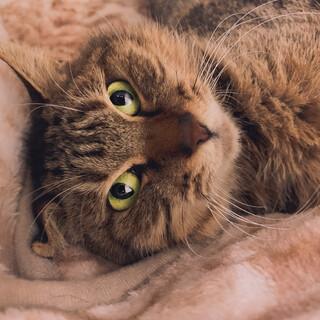 【大人猫】ま〜たりと一緒に暮らしたい方におすすめ
