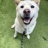 紀州犬mix風の男の子♂8歳位、15キロ。