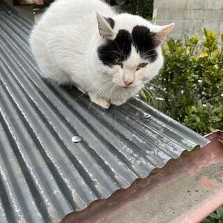 人馴れした白黒の成猫