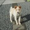 去勢済・ふわふわの活発なオス子犬