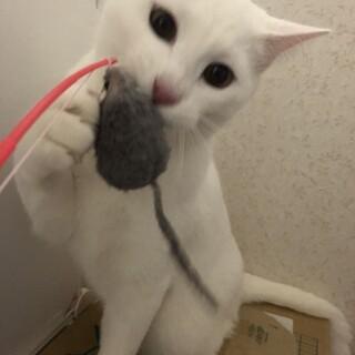 ◎大人猫さんと仲良くできます!! 純白男子9ヶ月◎