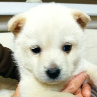【周南保護犬】シロクマみたいなゆらちゃんお転婆♪