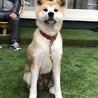 おっとり、甘えたの秋田犬