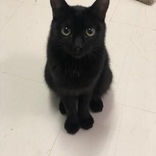 クールビューティな黒猫つばさちゃん
