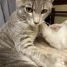 生後6ヶ月のMIX子猫(グレーのしましま模様)