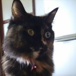 【サビ柄】優雅な長毛猫