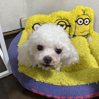 ひかり☆控えめな甘えん坊マルチーズ♂