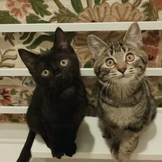 【3/7芝浦】アメショーと黒の美猫甘えん坊姉妹