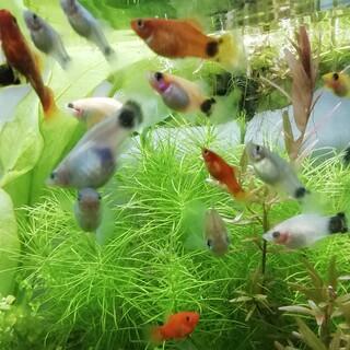 淡水熱帯魚 プラティ さしあげます