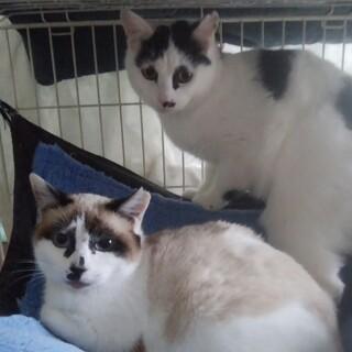子猫の姉弟♪ポッキーとリッツ7ヵ月♀♂