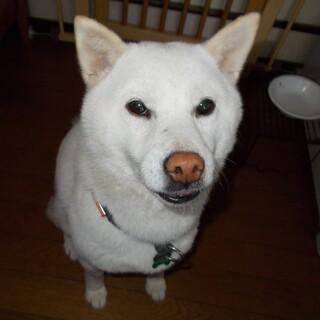 温和な白柴犬♀・遠慮がちに甘えるコです・室内飼い