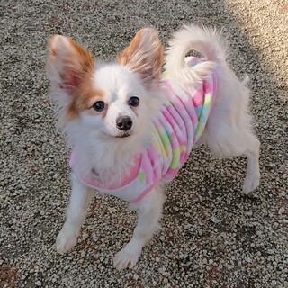 パピヨン3~4歳★ランちゃん 繁殖引退犬