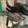 大きくならなくて大人しいミシシッピニオイガメです! サムネイル3