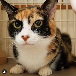 目力の強い三毛猫パルフェ
