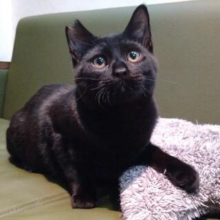 大阪藤井寺元気いっぱい黒猫ヌーヴォー♂