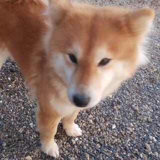 中毛の柴犬、シェリの家族を募集します。