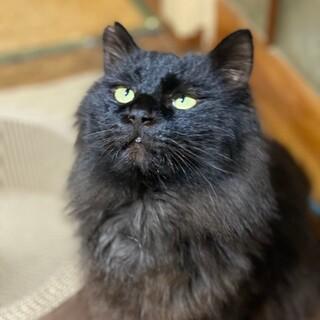 ふわふわ長毛の黒猫♡くうちゃん