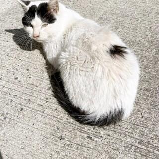 【急募】人馴れした白黒の成猫
