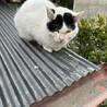 【急募】人馴れした白黒の成猫 サムネイル2